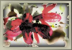 Rododendros (seguicollar) Tags: rododendro rojo red flower flor flores primavera jardínbotánicomadrid virginiaseguí imagencreativa photomanipulación art arte artecreativo artedigital