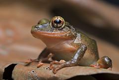 Undescribed Rainfrog (DevinBergquist) Tags: rainfrog frog ecuador choco chocorainforest savethechoco herping fieldherping wildlife nature rana
