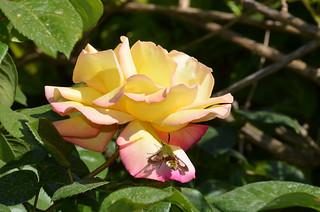 Première rose de l'année