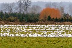 DWW00740.jpg (dennwaf) Tags: snowgeese birds waterfoul snohomishvalley wa sonya6500