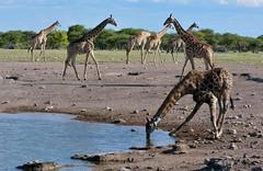Giraffes take a long drink at an Etosha Waterhole, east Etosha region of Namibia. (One more shot Rog) Tags: giraffe giraffes wildlife tallest large africangiraffes drink thirst etosha etoshanationalpark etoshawaterholes nature waterhole safari himba onemoreshotrog rogersargentwildlifephotography african animales