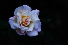 Rosa blanca (ameliapardo) Tags: rosas blanco flores naturaleza jardines airelibre sevilla andalucía españa