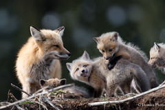 Mother red fox and her babies / La Maman renard et ces petits (Domica Photo) Tags: foxes babies renardroux renardeaux bebe bokeh branches animal fox mammal nature wildlife cute younganimal animalsinthewild outdoors redfox fur grass looking animalsandpets small animalthemes oneanimal