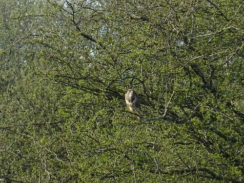 Snipe Island buzzard 1
