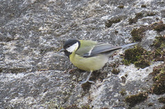 Great Tit - Parus major - Kronobergsparken, Stockholm, Sweden - April 6, 2017 (mango verde) Tags: greattit parusmajor paridae chickadeesandtits parus major bird kronobergsparken stockholm sweden