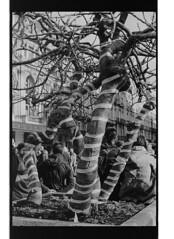 P42-2017-038 (lianefinch) Tags: argentic argentique monochrome noirblanc noiretblanc blackandwhite blackwhite bw bruxelles brussels belgium belgique belgïe bourse beurs arbre tree