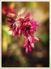 (meeeeeeeeeel) Tags: iphone iphoneography corderosa rosa garden jardim natureza nature bokeh hipstamatic pink detalhes details detail flower flor