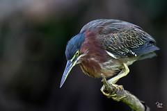 Garceta Verde - Butorides virescens (Jorge De Silva R) Tags: avesdechiapas birds reserva de la biosfera encrucijada chiapasmexico jorgesilva nature aves mexico butorides virescens garceta verde