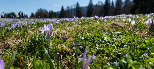 A few crocuses... and people