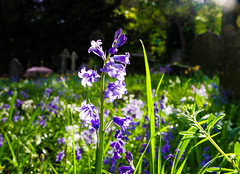 light life and colour in the graveyard (I was blind now I see!) Tags: flowers bluebells gravestones graveyard churchyard grass light colourful sunny