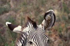 ZOO0100 (Akira Uchiyama) Tags: 動物たちのいろいろ 耳 耳グレイビーシマウマ
