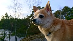 The joy of spring. (Papa Razzi1) Tags: 8992 2017 099365 melker dog chihuahua lake april spring xperiax happy smile