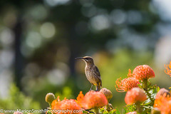 Cape Sugarbird sitting on orange Fynbos, looking left, South Africa (Marion Smith, (Byers)) Tags: birds flower africa african animals background beak bill bird blue blurred botanical cafer cape capesugarbird elegant endemic feathers fynbos garden long longtail male mountain national nature nectar park pin pincushion pincushions point promerops protea proteas sharp sitting south southern spot sugar sugarbird sunbird table tail unique very western wilderness wildlife yellow