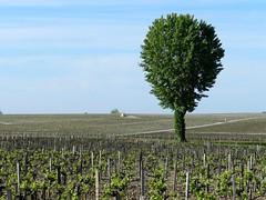 Un solitaire (Daniel Biays) Tags: arbre tree cabane hut vignes vignoble pauillac gironde
