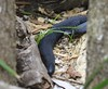Red-bellied black snake copyright Rosie Nicolai_1A4A3177 (Happy days 09) Tags: redbelliedblacksnake red belly black snake reptile native easternaustralia venomous elapidae serpent danger dangerous head tail pseudechisporphyriacusnear permanent watercourses or swampsnew south wales nsw