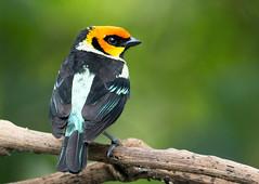IMG_6631  Flame-faced Tanager (ashahmtl) Tags: flamefacedtanager bird tanager songbird passerin tangaraparzudakii santadeonearmindo pichinchaprovince ecuador