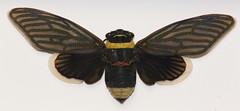 Giant Cicada (Tacua speciosa) Malaysia (nevinshrom) Tags: giantcicada malaysia nikon d5200 tokina nature macro tacua