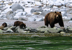 brown bear + cubs on the shoreline at cape kambal'nyy, kamchatka 9 (Russell Scott Images) Tags: cape mys kambal'nyy kamchatkapeninsula russianfareast russia kamchatkabrownbearursusarctossspberingianus cub