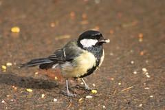 Great Tit (parus major) male, Rozelle (linweseregon) Tags: great tit parus major male rozelle ayrshire birds scotland