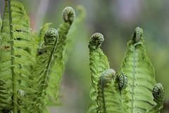 Curls (mennomenno.) Tags: ferns varens structuren textures lente spring