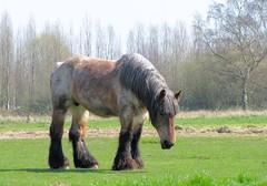"""Superbe cheval de trait!  """"Pays-Bas"""" (josianelavielle) Tags: cheval de trait champ arbres"""