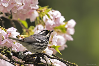 Black-throated Gray Warbler | Paruline Grise
