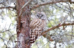 Barred Owl (Amherst Island) (praja38) Tags: barredowl capricorn cap caps humour life nature animal wildlife birdofprey hunter beak talons talon barred feather feathers wings wing eyes perch forest woods trees owl canadian canada amherst island ontario tail branch