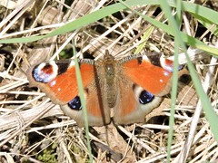 Peacock butterfly (deannewildsmith) Tags: earthnaturelife chasewater butterfly staffordshire peacockbutterfly insect