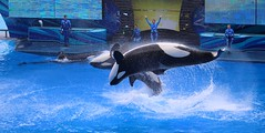 Ocean Discovery Show (Thanks for over 2 million views!!) Tags: chadsparkesphotography centralflorida canoneosrebelt5 shamu orca killerwhales seaworldorlando seaworld shamustadium water wildlife mammal whale