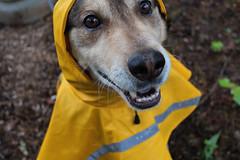 Halen (sfreeman8875) Tags: halen dog spca gspca rain pup husky german shepard coat cute dress up foster mutt adopt