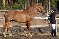 Jalopeno (anniina.salmi) Tags: stallion jalopeno suomehevonen