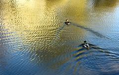 Ducks reflection (aivas14) Tags: reflection bird water canon duck spring ducks kaunas