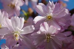 (blincom) Tags: spring blossom tender wonderfull blincom