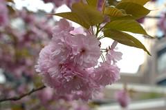 Prunus lannesiana 'Sekiyama' (Masaoki Hirai) Tags: prunus cerasus rosaceae cultivar planart1450zf