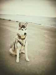 Plymouth, MA (Signature Move Siberians) Tags: husky siberian