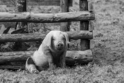 Happy as a pig....