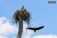 The Return (D1405101839f-WM) (Louis Curtis) Tags: sky cloud tree bird nature clouds digital flying nikon branch texas unitedstates waco nest eagle wildlife baldeagle raptor vegetation northamerica dslr fx predator 2014 nikonian nationalsymbol lakewaco niko