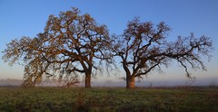 Morning (Don McCullough) Tags: california trees silhouette fog sunrise canon bluesky sonomacounty santarosa lagunadesantarosa 5dmarkiii