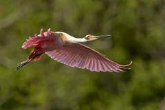 (daveinhst) Tags: bird island spring high texas flight rookery 041114 spoonbill roseate 035