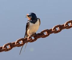 Hé you.... (Snoek2009) Tags: bird water chain swallow barnswallow boerenzwaluw gateofparadise notaterrorist itsmylife freedomhasnoprice