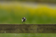 witte kwikstaart / pied wagtail (nature photography by 3620ronny.be) Tags: holland nature netherlands birds canon nederland vogels natuur vogel piedwagtail naturephotography natuurfotografie wittekwikstaart canon7d 3620ronny canonef300mmlf4