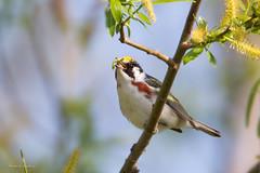 _53F0768 Chestnut-sided Warbler (~ Michaela Sagatova ~) Tags: male spring dundas chestnutsidedwarbler dendroicapensylvanica birdphotography dvca michaelasagatova