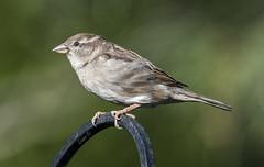 Female House Sparrow (Diane G. Zooms---Mostly Off) Tags: nature birds birding sparrow housesparrow naturephotography wildbirds birdphotography coth theworldwelivein femalehousesparrow femalesparrow fantasticnature alittlebeauty coth5 sunrays5 femalesparrowphotos