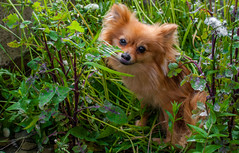 Boo the Pomeranian. (CWhatPhotos) Tags: pictures camera summer portrait plants dog pet brown plant cute green nature grass animal canon pose that lens photography eos pom weeds foto image artistic zoom pics dwarf sandy picture sigma pic images boo have photographs photograph fotos greenery colored pomeranian coloured which spitz contain dandelions pompom 2470mm zwergspitz 450d cwhatphotos dwarfspitz