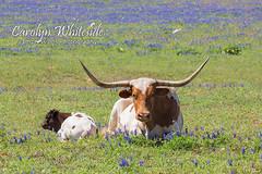 Longhorn/Calf Resting