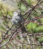 Sparrow (G8lite) Tags: tom nikon feathers finch sparrow daisy spadge spadger rspb gardenbirds wildbirds raywood d700 g8lite
