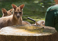wallaby-2592 (Tim_Allan) Tags: new nature animal forest cat butterfly outdoors wolf wildlife wallaby lynx