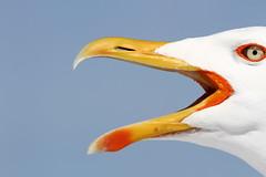 Verba... volant! (France53  . . . u t i n a m . . .) Tags: seagull gabbiano ferryboat traghetto elbaisland isoladelba emp