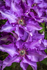 Clematis The President (Apestar68) Tags: flower purple clematis