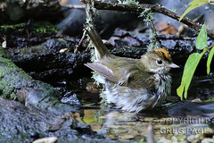 Ovenbird (gregpage1465) Tags: galveston bird nature photography photo texas greg cove wildlife picture page warbler lafittes ovenbird gregpage seiurusaurocapilla